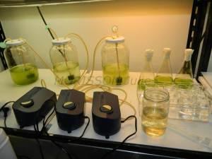 Algae culture3